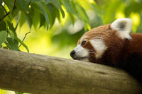 Red panda bear resting on a log, looking depressed and tired. Green forest in the background.