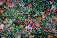 Background image: branches of barberry with berries.