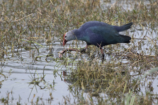 Purple swamphen that walks in shallow water and feeds on the stems of aquatic vegetation
