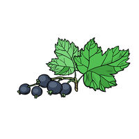 sprig of black currant isolate on white background