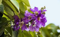 Lagerstoemia indica, Crape myrtle native to the Indian sub continent. Thane, Mumbai, Maharashtra, India