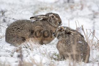 Feldhasen im Winter / Europaeischer Feldhase / Lepus europaeus