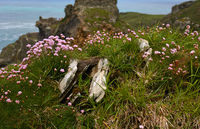 flowers in a castle background- Tintagel - Cornwall - UK