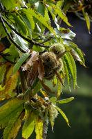 Edelkastanie (Castanea sativa) im Herbst