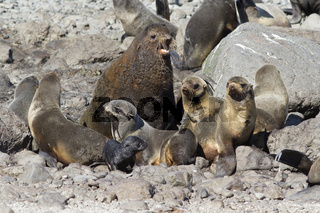small harem is a northern fur seal on a rookery on a summer sunny day