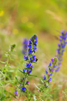 summer blueweed flower blossom