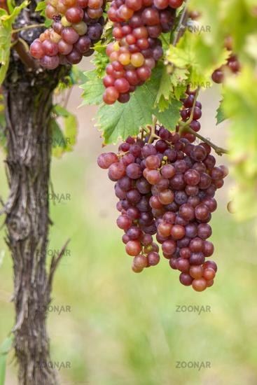 White wine grapes on the vine, Gewuerztraminer grape variety