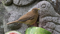 Clay colored thrush sits on a sliced melon