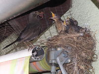 Female blackbird at the nest on a roller shutter.