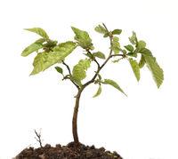 Hainbuchensproessling, Hainbuche, Carpinus, betulus