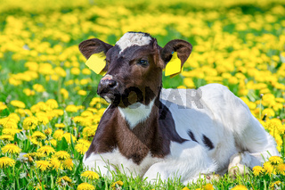 Portrait of newborn calf lying in pasture with dandelions