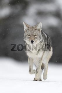 unterwegs... Kojote * Canis latrans *