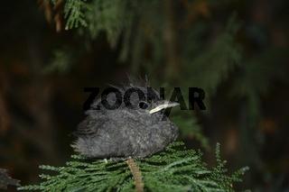 Ein Hausrotschwanz Jungvogel sitzt auf einem Ast