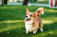 Happy and active purebred Welsh Corgi dog outdoors in the grass