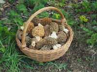 Basket with true morels (Morcehlla esculenta)