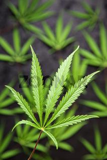 Marijuana cannabis leaves.