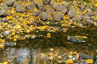 Golden autumn leaves in a river