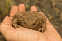 Common toad in a hand