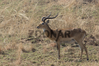 male WATERBUCK which stands amid the dry grass in the savanna in the dry season