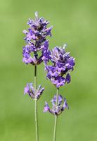 Lavendel, Lavendula, angustifolia, officinalis