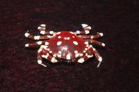 Sea cucumber Crab, Lissocarcinus orbicularis