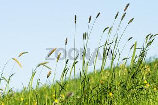Blühendes Gras im Detail - Allergene