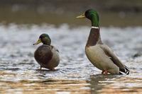 Mallard * Anas platyrhynchos *,  two males