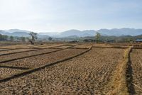 Rice fields during dry season, Pai, Thailand