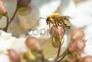 A bee foraging a Catalpa bignonioides flower