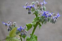 Borretsch (Borago officinalis)