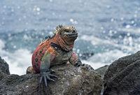 marine iguana Amblyrhynchus cristatus venustissimus, Island, Galapagos Islands, Ecuador