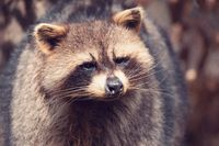 portrait of North American raccoon
