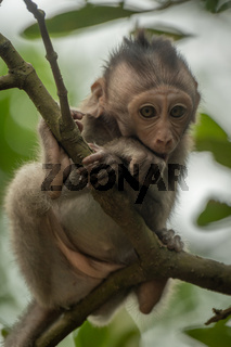 Baby long-tailed macaque sitting in leafy tree