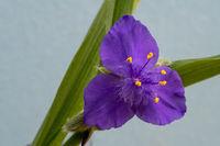 beautiful flower in blue