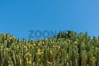 A wall of cactus on a warm summer day