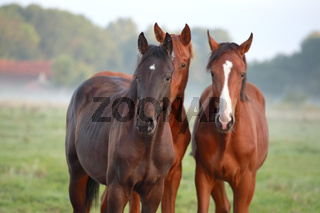 brown horses on pasture outdoor