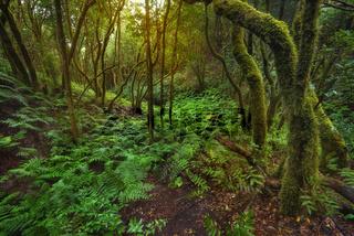Magic Laurisilva rain forest in Anaga mountains, Tenerife, Canary islands, Spain.
