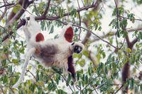 Lemur Coquerel's sifaka madagascar wildlife