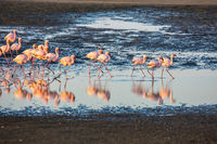 Flock of pink flamingos in Namibia on sunset