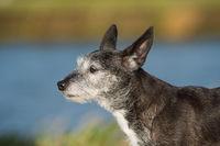 Alter Mischlingshund