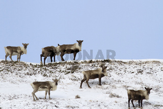 A small herd of reindeers standing on top of a hill in the tundra in winter
