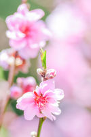 Pink Cherry Blosssom with pink background