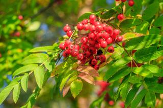 Rowan berries on a branch. Autumn harvest. Rowan tree berries hang on a green branch.