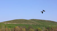 Two greylag geese fly over the Arkenberge hill in Berlin