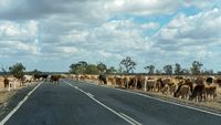 Cattle Feeding On A Highway