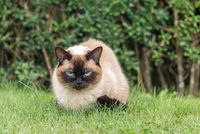 Cat with blue eyes relaxed in the meadow - Ragdoll