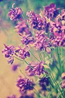 blooming spring flowers (Aquilegia vulgaris)
