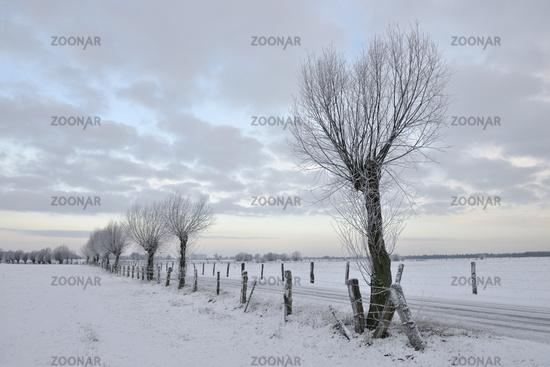 Pollard willow trees ( Salix sp. ) along a little road in winter, Germany
