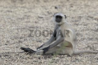 Gray langurs who sits on the ground stretching his legs on a hot day