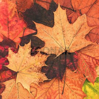Autumn leaves of maple. Bright natural autumn background. Yellow and red leaves.